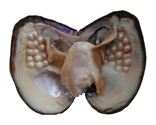 MOP0022 Wholesale 15-20cm Large Giant Monster Oyster with Multiple Pearls